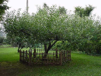 0073-newtons_apple_tree.jpg
