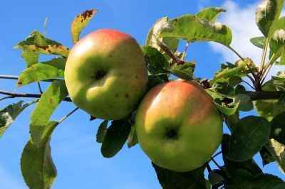 0122-apple_tree.jpg