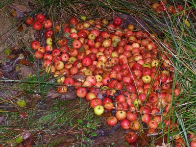 0122-small_apples_in_a_drainage_ditch.jpg